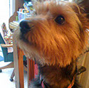 Scruff, a male Yorkshire Terrier